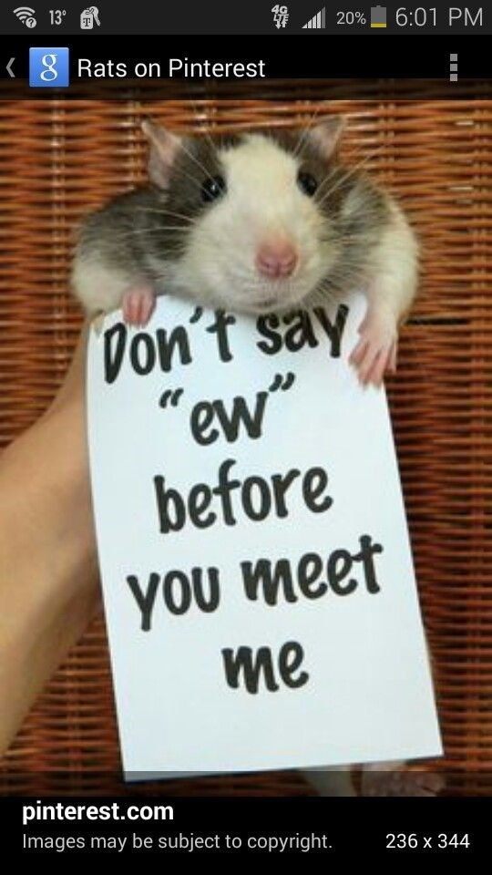 """Rat - 139 6:01 PM 20% 8 Rats on Pinterest Don't say """" ew before you meet me pinterest.com Images may be subject to copyright. 236 x 344"""