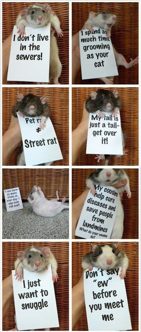 """Fur - 1 spend as much time grooming as your cat I don't live in the sewers! My tail is just a tail- get over it! Pet r Street rat My cousins help cure diseases and I can learn as many tricks as your dog- can evon roll over save people from landmines What do your cousins do? Don't say """"ew"""" before I just want to snuggle you meet me"""
