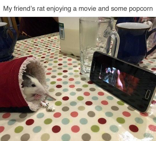 Cat - My friend's rat enjoying a movie and some popcorn