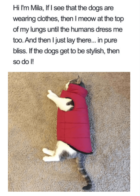 Text - Hi I'm Mila, If I see that the dogs are wearing clothes, then I meow at the top of my lungs until the humans dress me too. And then I just lay there... in pure bliss. If the dogs get to be stylish, then so do I!