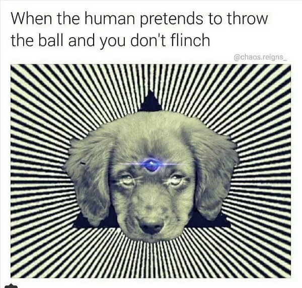 meme - Dog - When the human pretends to throw the ball and you don't flinch @chaos.reigns