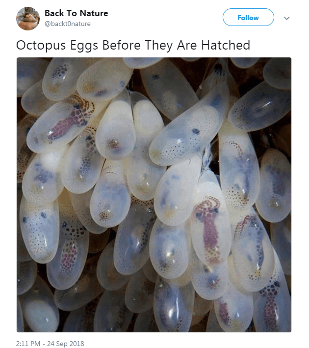 Organism - Back To Nature Follow @backtOnature Octopus Eggs Before They Are Hatched 2:11 PM 24 Sep 2018
