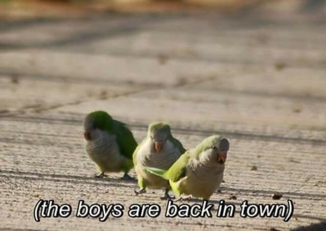 "Pic of three little green birds walking with text overlay that reads, ""The boys are back in town"""
