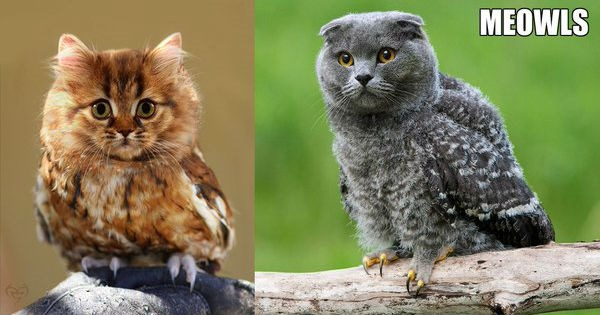 cat owl hybrid photoshops