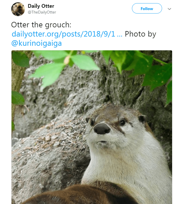 Wildlife - Daily Otter Follow @TheDailyOtter Otter the grouch dailyotter.org/posts/2018/9/1... Photo by @kurinoigaiga