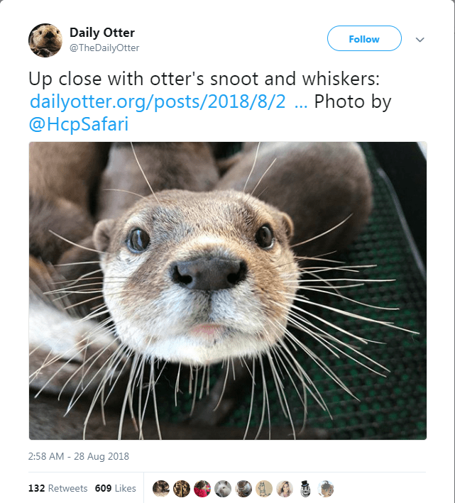 Mammal - Daily Otter @TheDailyOtter Follow Up close with otter's snoot and whiskers: dailyotter.org/posts/2018/8/2 . Photo by @HcpSafari 2:58 AM 28 Aug 2018 132 Retweets 609 Likes