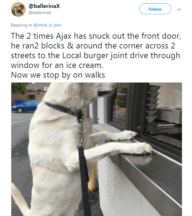 Companion dog - @ballerinaX Follow @ballerinaX Replying to @chick_in_kiev The 2 times Ajax has snuck out the front door, he ran2 blocks & around the corner across 2 streets to the Local burger joint drive through window for an ice cream. Now we stop by on walks
