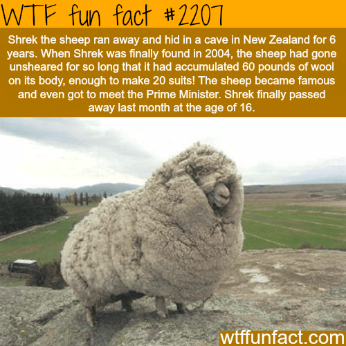 "Text reads, ""Shrek the sheep ran away and hid in a cave in New Zealand for six years. When Shrek was finally found in 2004, the sheep had gone unsheared for so long that it had accumulated 60 pounds of wool on its body, enough to make 20 suits! The sheep became famous and even got to meet the Prime Minister. Shrek finally passed away last month at the age of 16"""