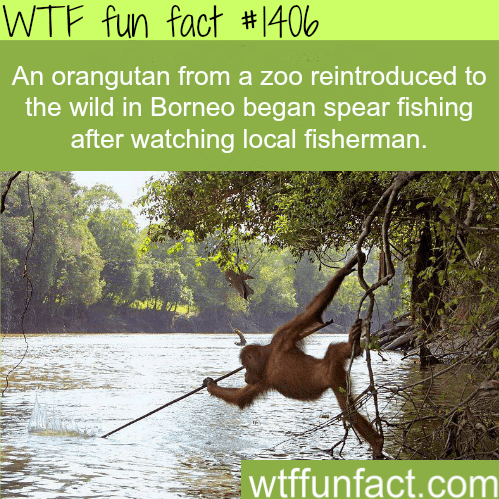 Nature - WTF fun fact # 406 An orangutan from a zoo reintroduced to the wild in Borneo began spear fishing after watching local fisherman. wtffunfact.com