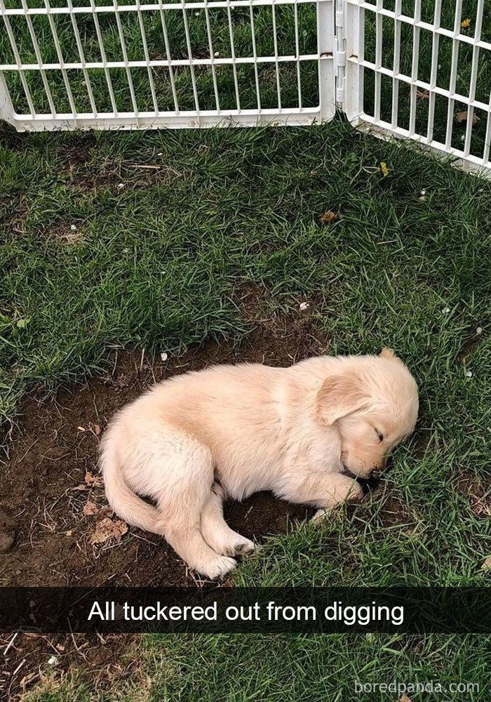 "Pic of a cute golden retriever taking a nap in a little ditch, with text overlay that reads, ""All tuckered out from digging"""