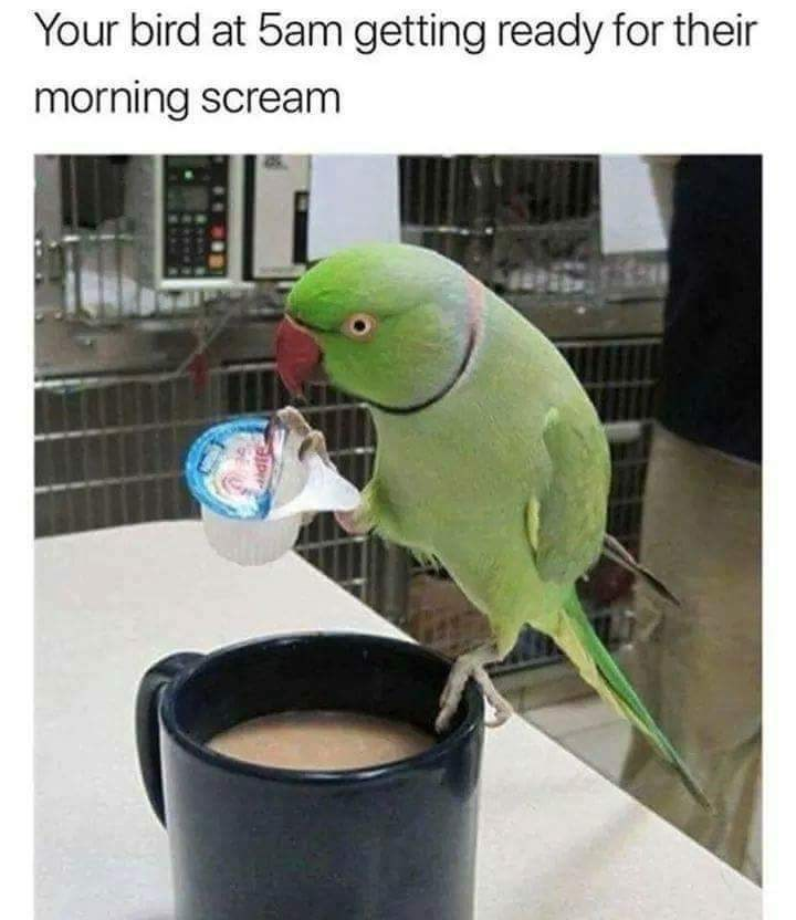 meme - Parakeet - Your bird at 5am getting ready for their morning scream
