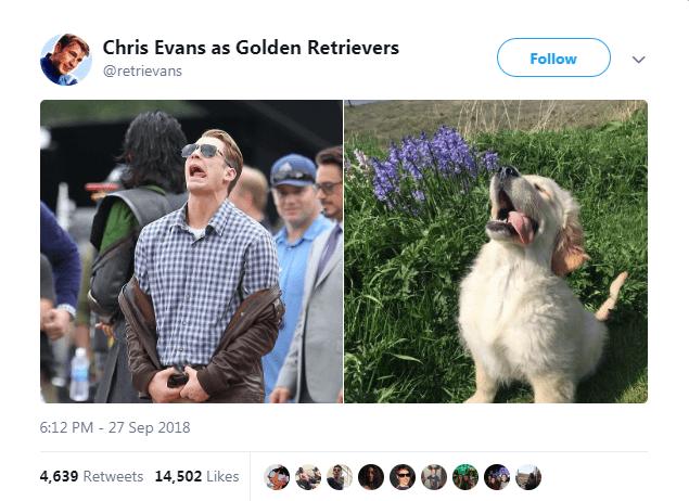 Adaptation - Chris Evans as Golden Retrievers Follow @retrievans 6:12 PM - 27 Sep 2018