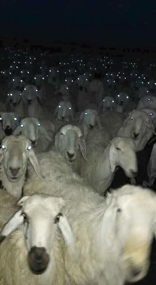 satanic ritual - Sheep