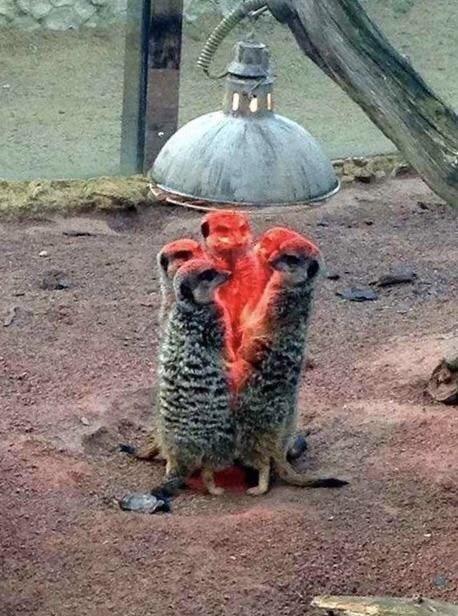 satanic ritual - Meerkat