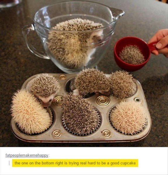 Hedgehog - fatpeoplemakemehappy: the one on the bottom right is trying real hard to be a good cupcake