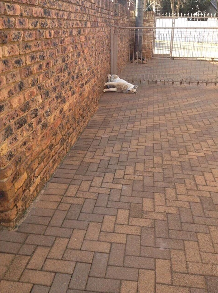 dog pic laying on his side next to a wall and it looks like he is defying gravity