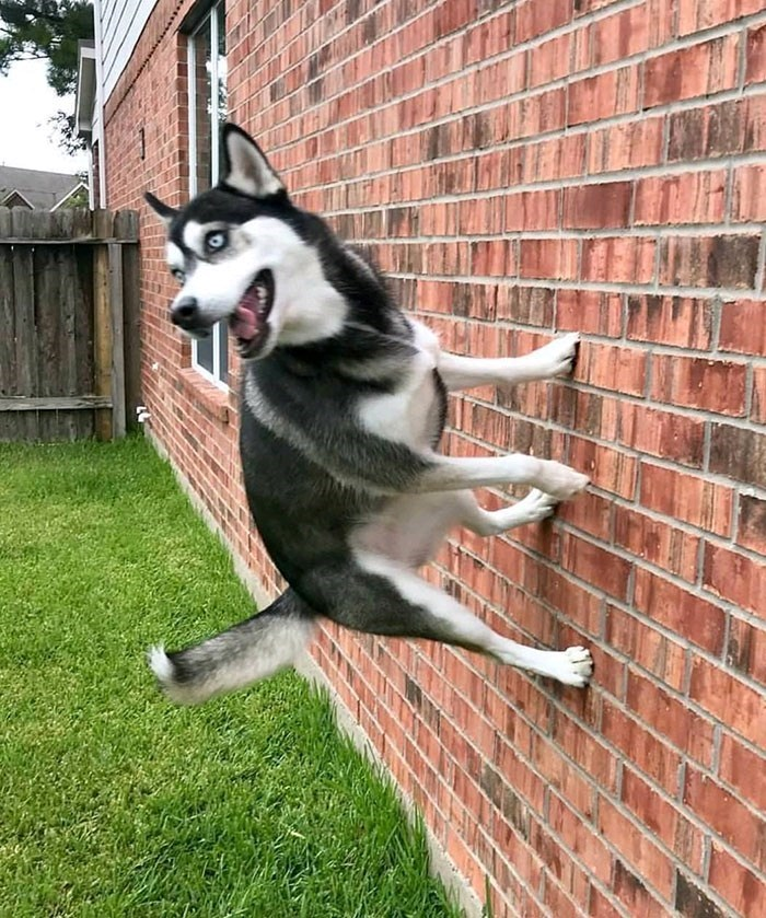 dog pic standing on a wall of a house and defying gravity