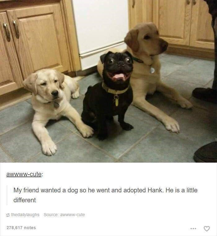"Pic of two yellow labs next to a crazy-looking pug above a Tumblr caption that reads, ""My friend wanted a dog so he went and adopted Hank. He is a little different"""