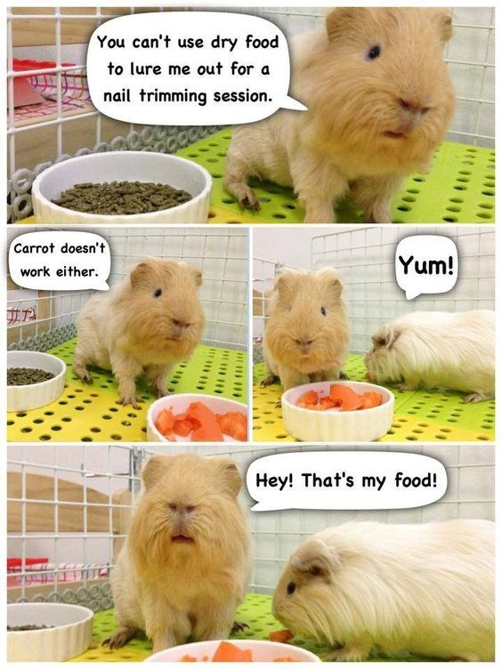 Image result for cutting guinea pig nails meme