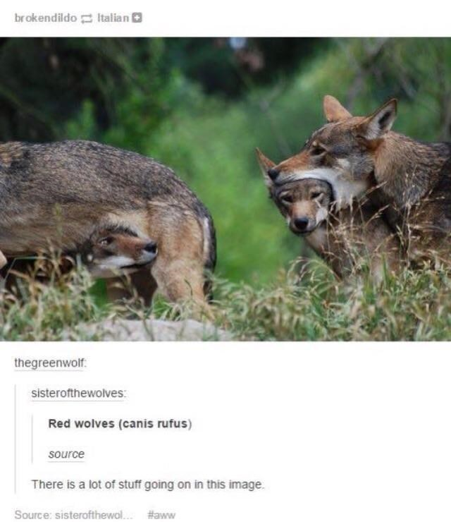 Wildlife - brokendildo Italian O thegreenwolf. sisterofthewolves: Red wolves (canis rufus) source There is a lot of stuff going on in this image. Source: sisterofthewol.. #aww