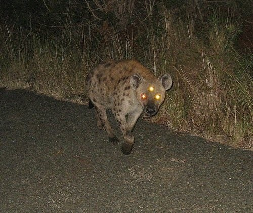 Cursed Image of a coyote staring into the camera during the night