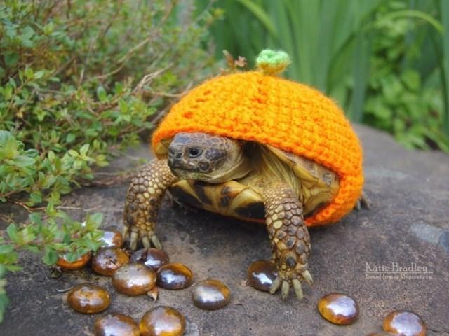Tortoise - Katio Bradleg