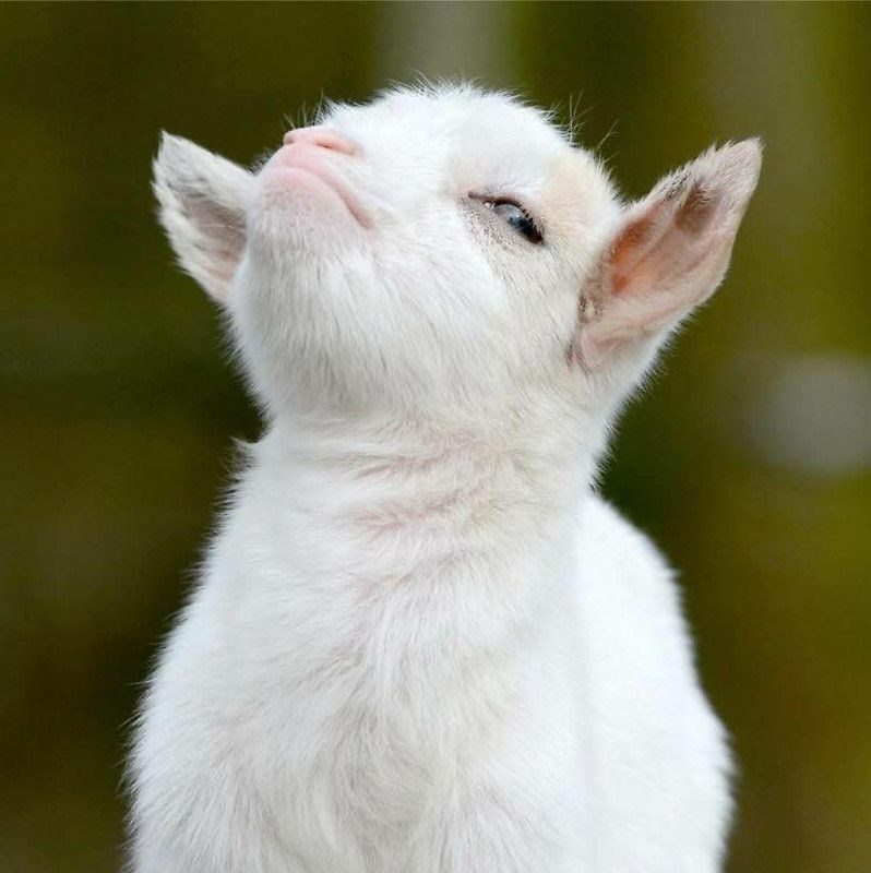 adorable goats baby goat cute smug - 9222832640