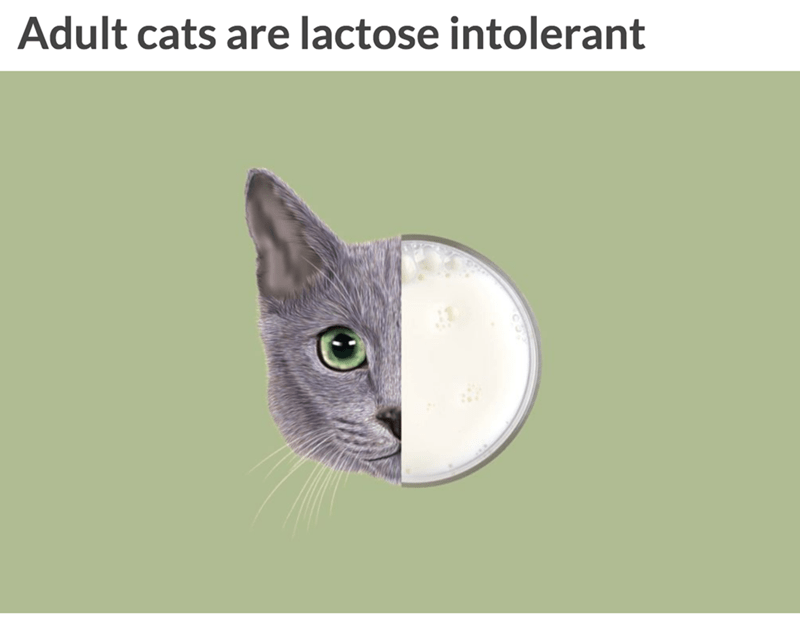 Cat - Adult cats are lactose intolerant