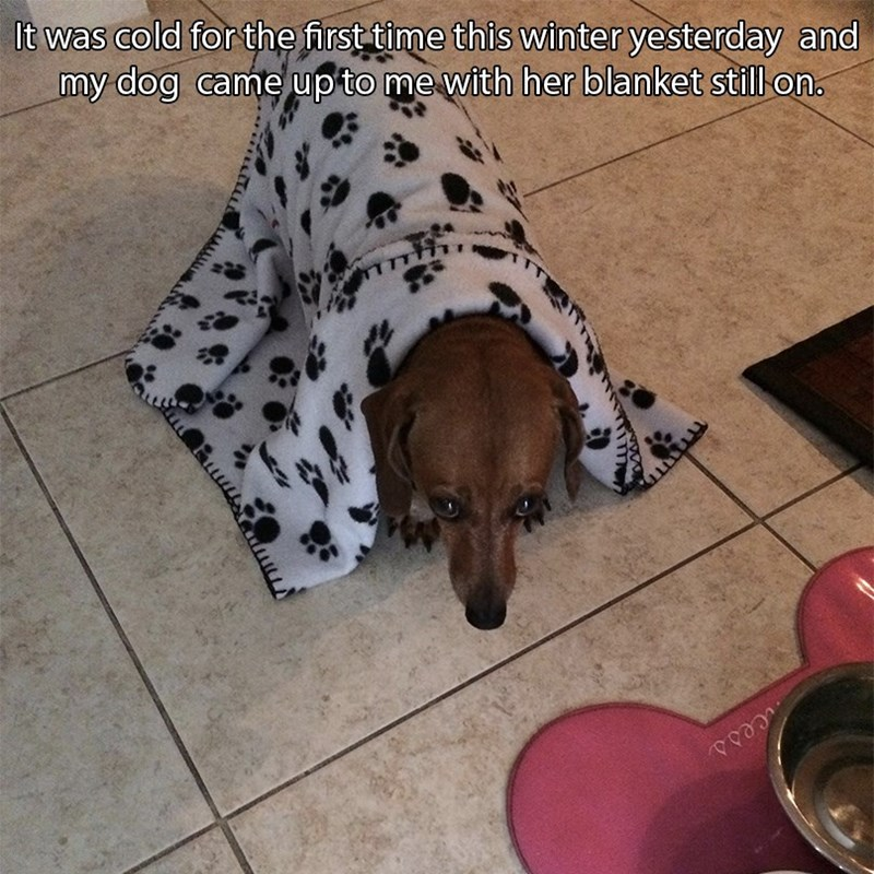 Dog - It was cold for the first time this winter yesterday and my dog came up to me with her blanket still on. cess