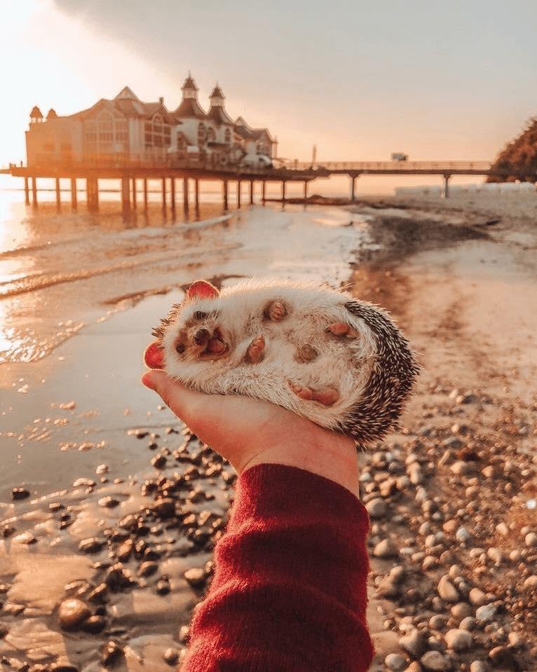 aww cute hedgehog Photo amazing - 9223639808