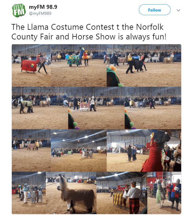 Bovine - myFM 98.9 FM @myFM989 Follow The Llama Costume Contest t the Norfolk County Fair and Horse Show is always fun!