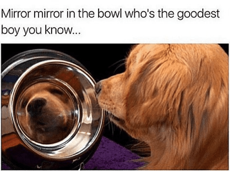 dog meme of a dog staring at himself in a food bowl