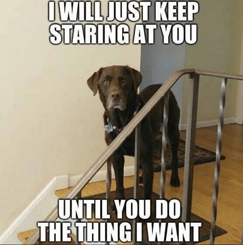 dog meme of a dog staring at the camera