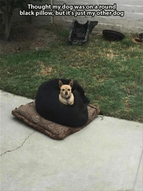 dog meme of a chihuahua that is sitting in a curled up dog