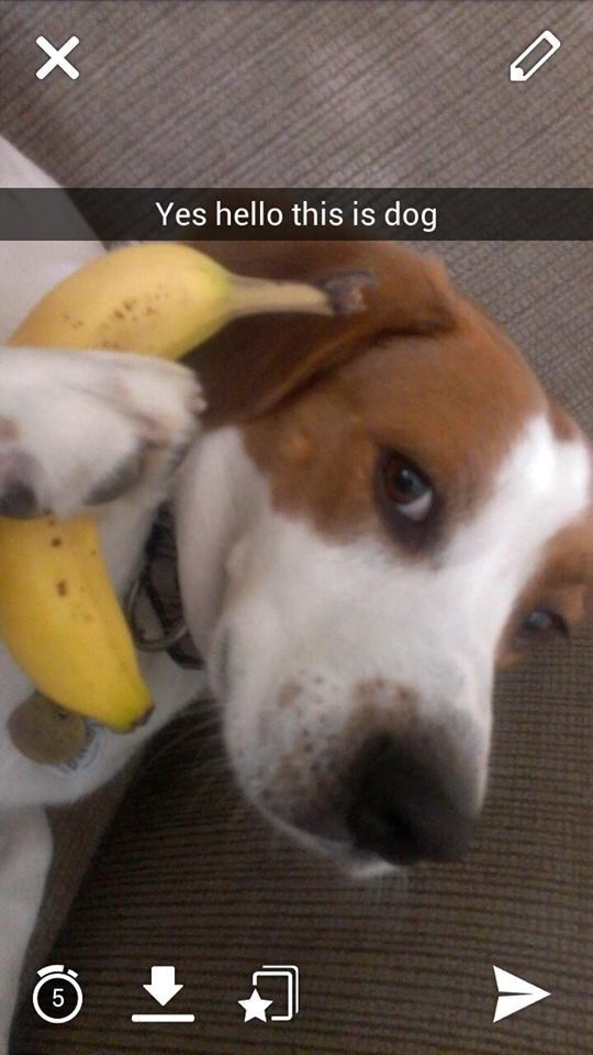 snapchat pic of a dog holding a banana as a phone