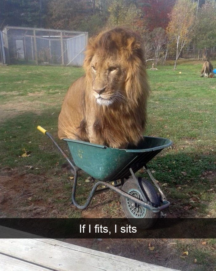 """Pic of a lion sitting in a wheelbarrow with Snapchat text that reads, """"If I fits, I sits"""""""