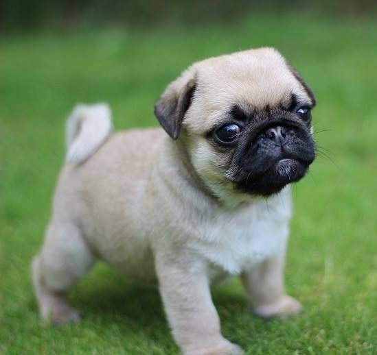 Pug Dog Breed Information Doggos N Puppers Rare Puppers Pure