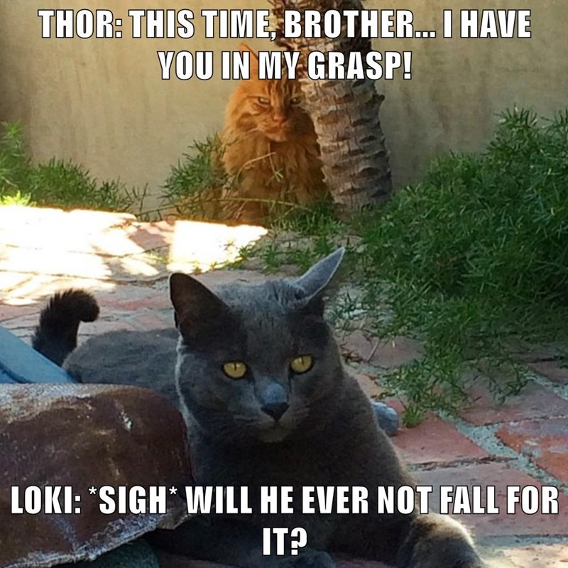 """Cat - THOR: THIS TIME BROTHER... I HAVE YOU IN MY GRASP! LOKI: """"SIGH WILL HE EVER NOT FALL FOR IT?"""