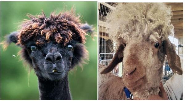 funny alpaca photos