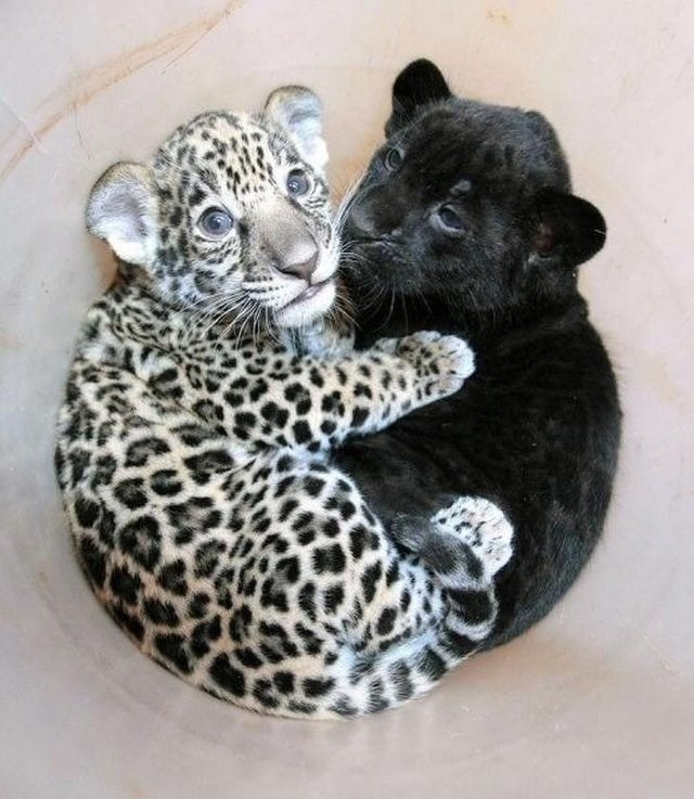 so cute leopard baby animals panther yin yang - 9224492544