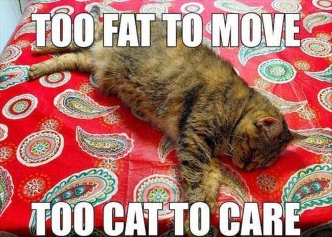 Cat - TOO FAT TO MOVE TOO CAT TO CARE