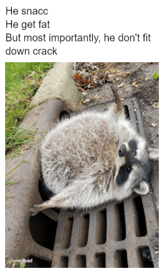 """Caption that reads, """"He snacc, he get fat, but most importantly, he don't fit down crack"""" above a pic of a very fat raccoon"""