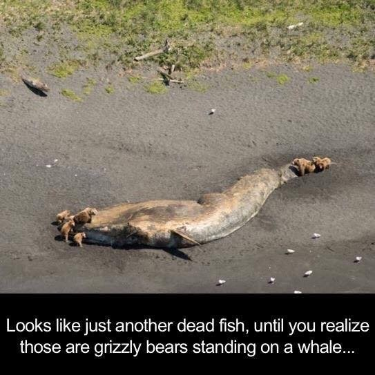 Varanidae - Looks like just another dead fish, until you realize those are grizzly bears standing on a whale...