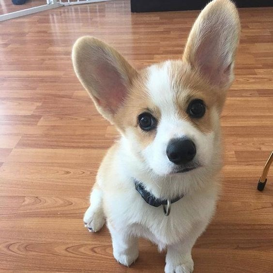 little dog with big ears