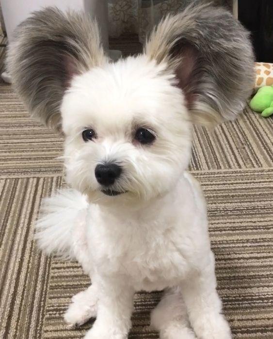 Dog with big floppy fluffy ears
