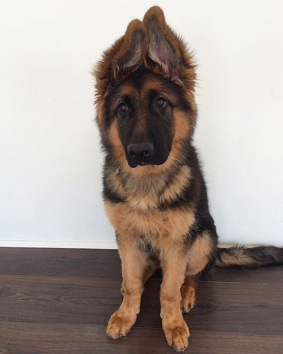 german shepherd dog ears