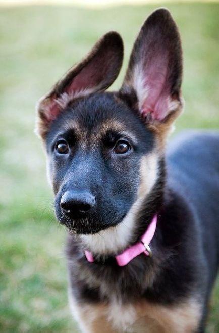 dog with big ears