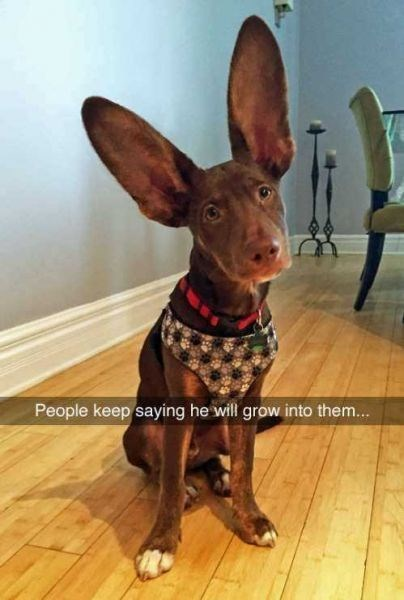 dog with massive ears