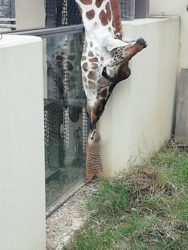 friendship friends cute Reddit giraffes - 9225398016