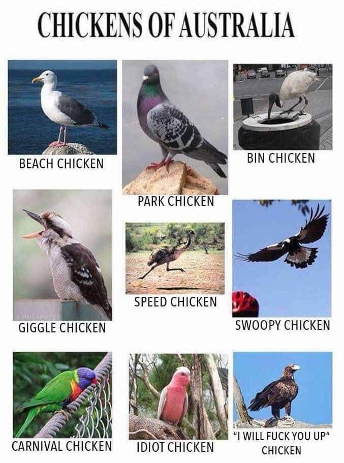 australia chickens funny - 9225746176